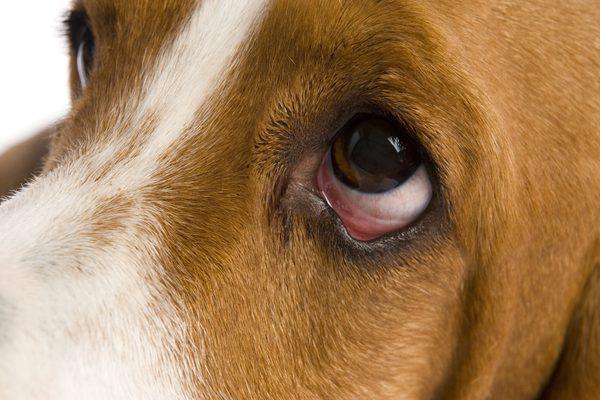 picazon en el ojo de mi perro